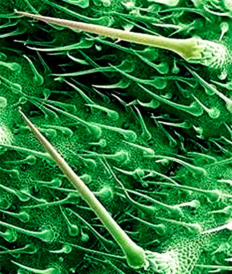 Лист крапивы под микроскопом